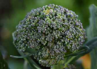 Macro of broccoli