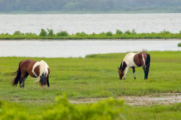 Wild Horses Grazing