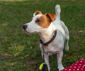 background. in the park on the green grass, the dog breed Jack Russell Terrier plays, the color is white with brown spots