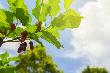 red and black mulberries on the branch of tree
