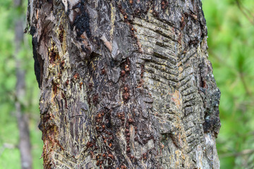 tree Bark Block , Tree Texture