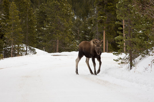 A Moose on a Snowy Road
