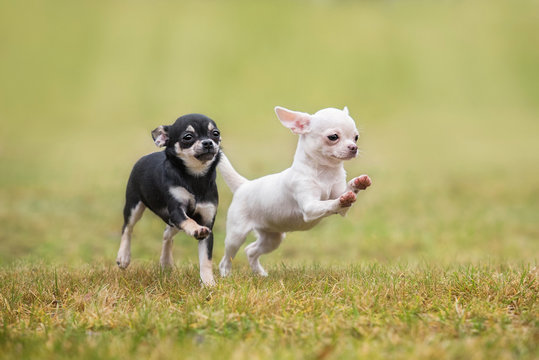 Two happy chihuahua puppies running