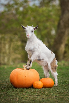Little white goat standing on the pumpkins