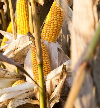 corn rotten