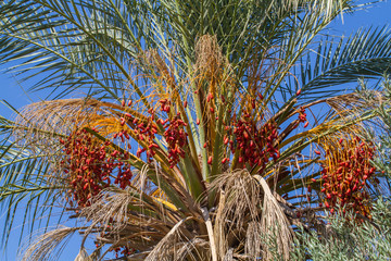 Date palm fruits, cluster of date fruits