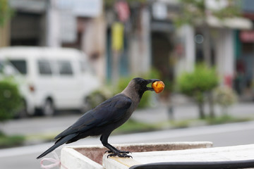 The crows are biting the food in his mouth.
