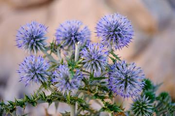 Blue Globe Thistle plant
