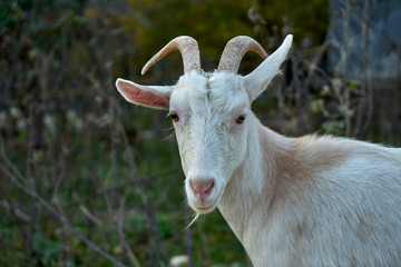 An image of a white goat.