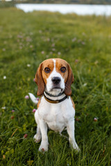 Beautiful wet beagle went ashore after swimming in the lake, summer.