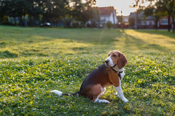 beagle dog playing on green grass