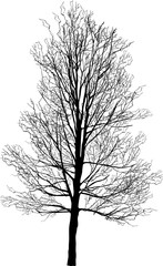 high bare tree isolated on white