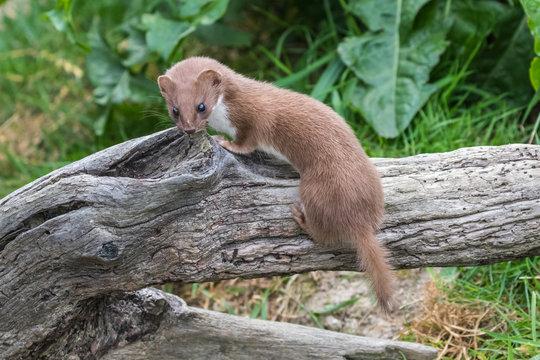 Weasel or Least weasel (mustela nivalis) on a tree log
