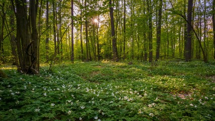 Wall Murals Forest Natural spring forest with blooming anemone flowers