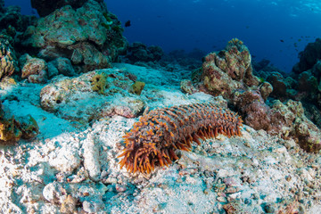 Sea Cucumber on a sandy seabed near a tropical coral reef