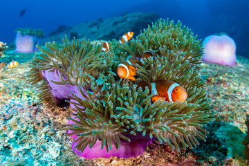 Wall Mural - Family of cute Clownfish in a colorful anemone on a tropical coral reef