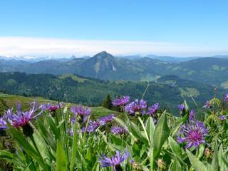 Wall Mural - pretty purple flowers in a wildflower meadow in a green summer mountain landscape in the Swiss Alps near Glarus
