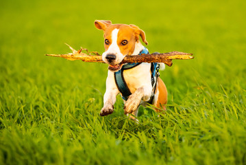 A Beagle dog running with a stick in its mouth in a grass field in sunset towards camera