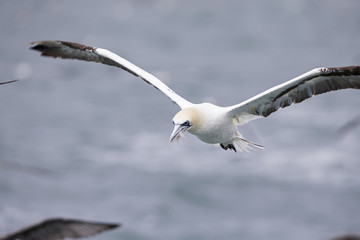 A Northern gannet (Morus bassanus) flying with plastic pollution cut in its beak at the North Sea.