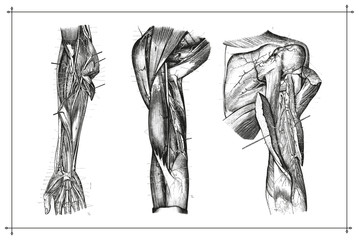 Human Arm Muscle Vein Anatomy Black & White Illustration with Boarder
