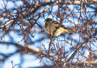 Sparrow on a tree branch against a blue sky