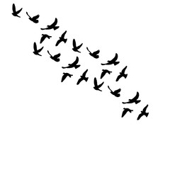 vector isolated silhouette of flocks of birds