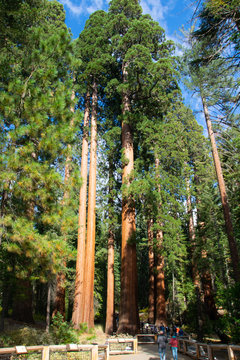 Sequoias, Mariposa Grove, Wawona, Yosemite National Park, California