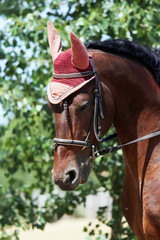 Sport horse close up under old leather saddle on dressage competition. Equestrian sport background