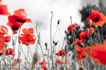 Foto op Aluminium Klaprozen Poppy field as a symbol of Remembrance.