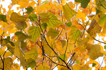 nature and outdoor backdrops - liriodendron tulipifera autumnal foliage