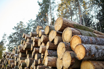 Tree felling. Deforestation. Wood is a renewable source of energy. Timber harvesting in the coniferous forest