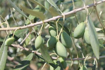 olive tree ,  olive wood