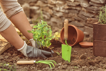 Woman repotting fresh mint outdoors