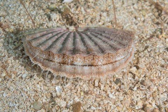 Queen scallop (Aequipecten opercularis) on sandy bottom, Norwegian Sea, Northern Atlantic, Norway, Europe