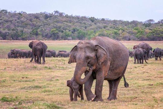 Heard of Sri Lankan elephants (Elephas maximus maximus), mother animal with young animal, Wasgamuwa National Park, Sri Lanka, Asia