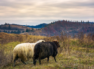 couple of sheep run across the mountain meadow. cloudy autumn weather