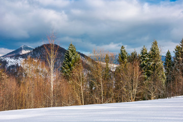 lovely winter landscape in mountains. snowy slope with row of birch and spruce trees on a cloudy day