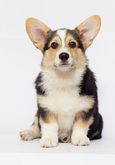 puppy welsh corgi three color looks
