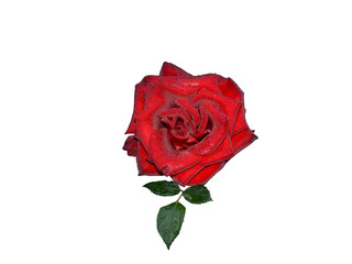 A red rose covered with morning dew drops isolated on a white background