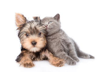yorkshire terrier and kitten lie together. isolated on white background