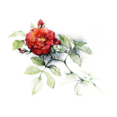 Rose. Hand made botanical illustration. Watercolor on paper. Print or postcard with roses.