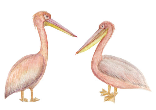 Watercolor painting two Pink pelicans isolated on white background