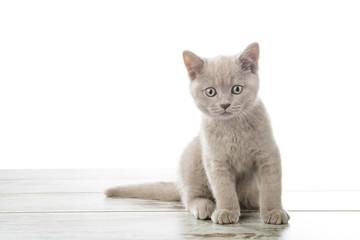 Scottish Fold cat with yellow eyes isolated on white background.
