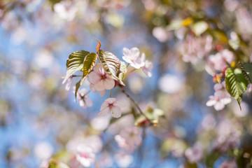 Cherry or japanese sakura blossom in spring, Sakura flowers on blue sky Background