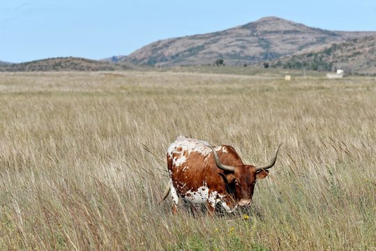 Texas Longhorn Steer wichita mountains wildlife refuge Oklahoma