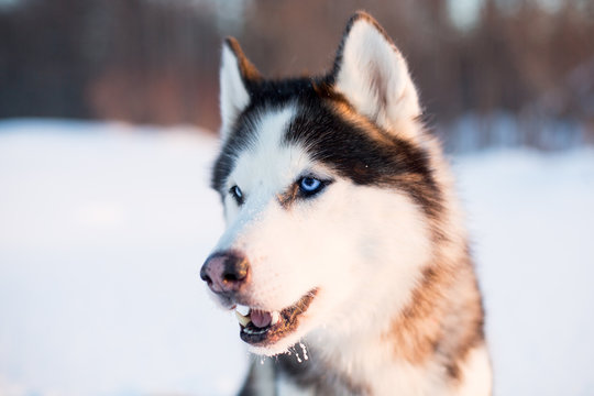 Portrait of Siberian Husky dog black and white colour with blue eyes in the snow field at sunset