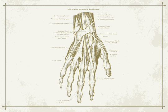 Human Hands Skeleton Vein Anatomy Gold Sepia Illustration with Boarder