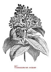 Vintage botanical engraving of cinnamomum verum or true cinnamon tree, small evergreen tree native to Sri Lanka, the inner bark is used to make cinnamon