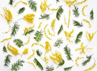 Mimosas flowers and leaves on white background