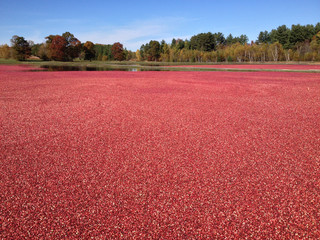 View of cranberries floating on field